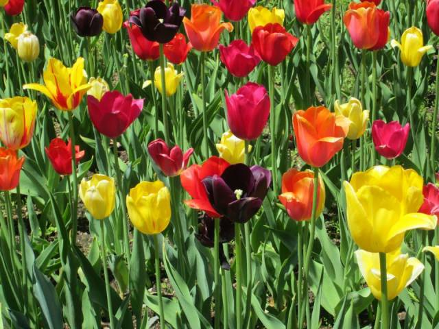 red, yellow, orange, and purple tulips