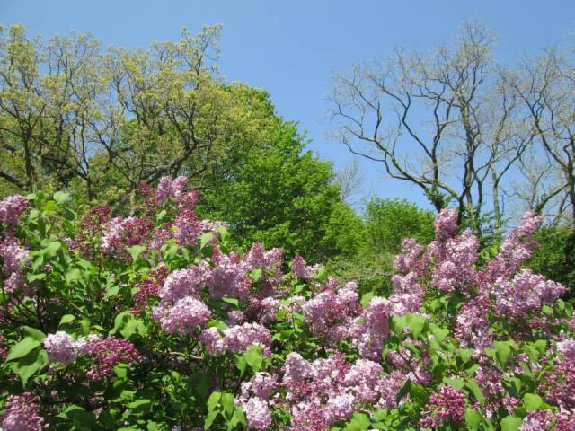purple lilac bushes